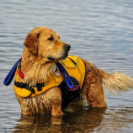 Dogs Lifeguard