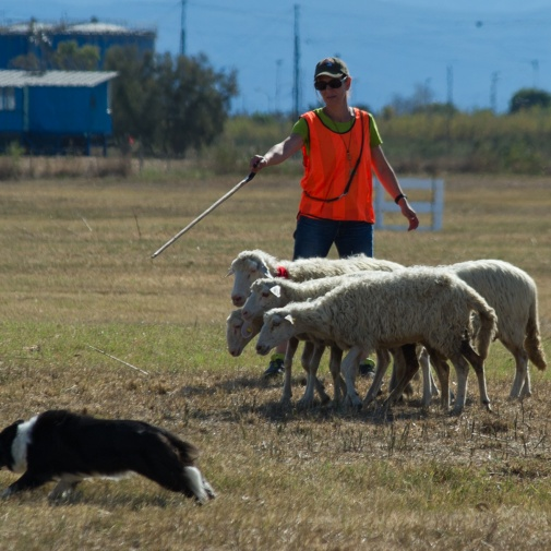 Continental Sheep Dog Championship 2015