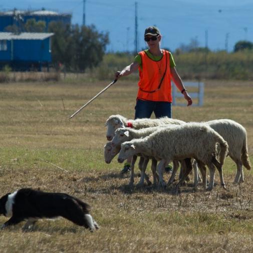 Continental Sheep Dog Championship 2015
