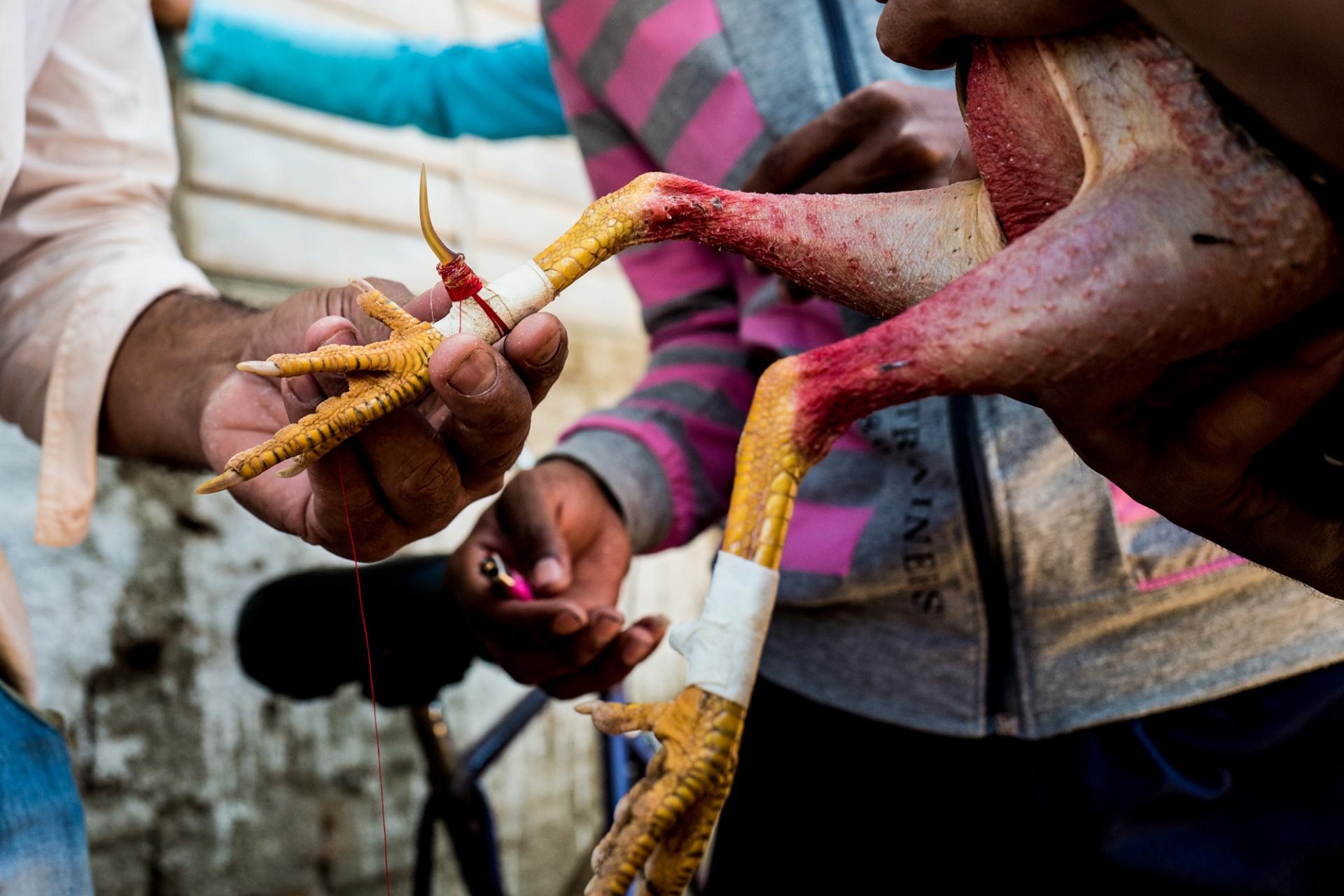 Cuba - La pelea de gallos, Il combattimento tra galli è uno dei più seguiti passatempo domenicali di Cuba, specie nelle realtà più rurali dell'Isola. Mi sono imbattuto per caso in questa esperienza